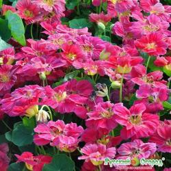 Семена. Цветы. Настурция Вишневая Роза (1,5 г)