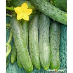 Семена. Огурец Зозуля (вес 0,3 г)